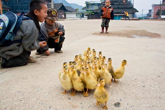 Guizhou ducklings